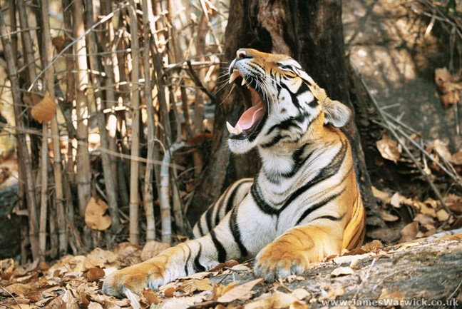 18-TIGER-YAWNING@body